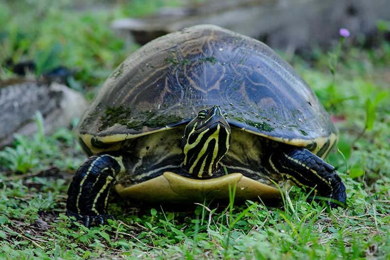 Turtle Featured2